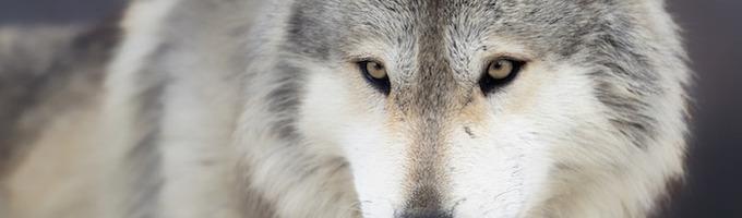 the omega wolfs little human mate